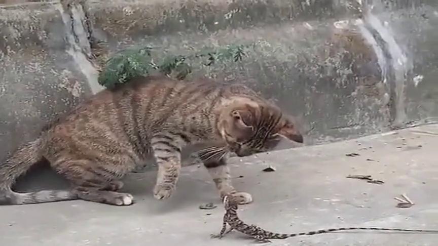 猫星人pk蜥蜴,没想到蜥蜴脾气这么犟,被拳击还不知道开溜!