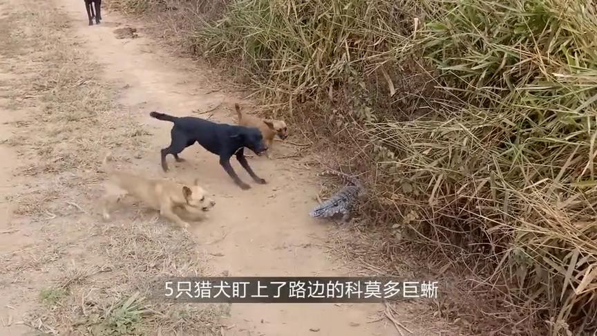 5只恶犬包围科莫多巨蜥,不料其中一只被咬中,还能活吗