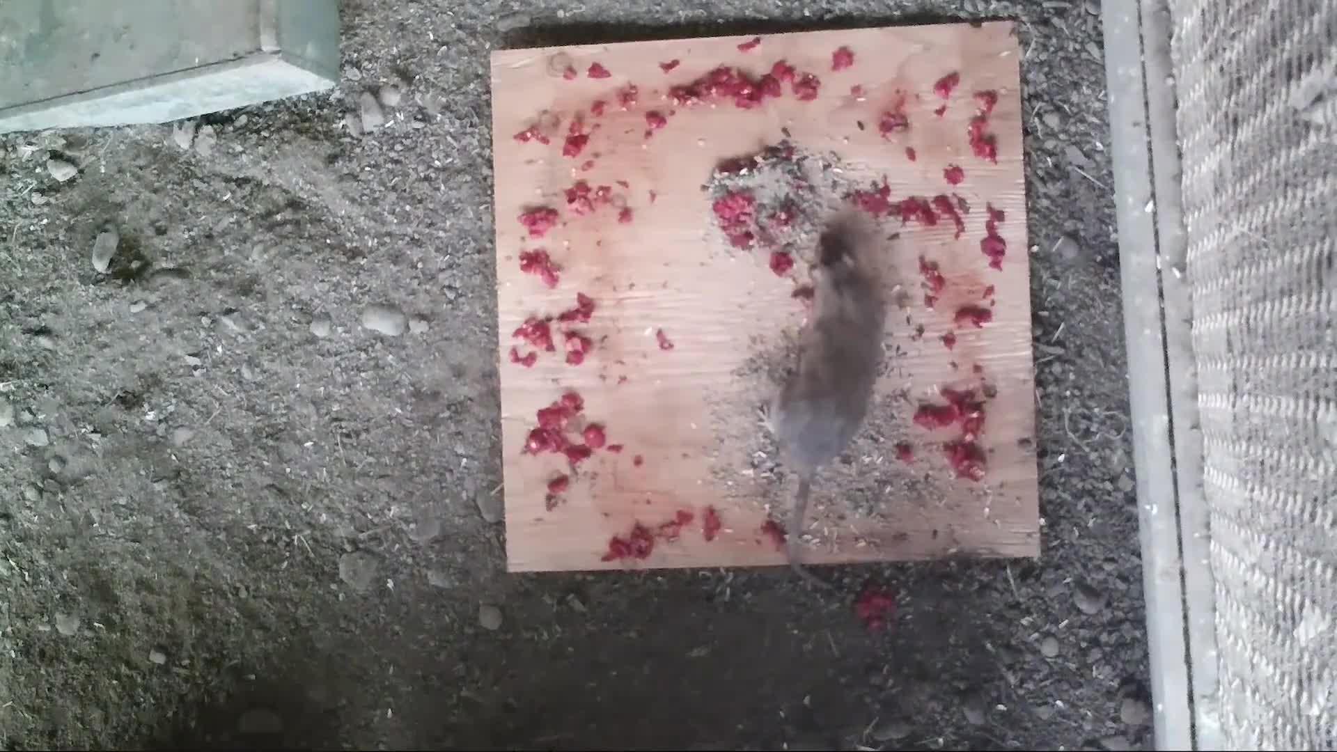 让你们看看什么叫鼠患成灾,挖掘机过来的那一刻,才知多可怕