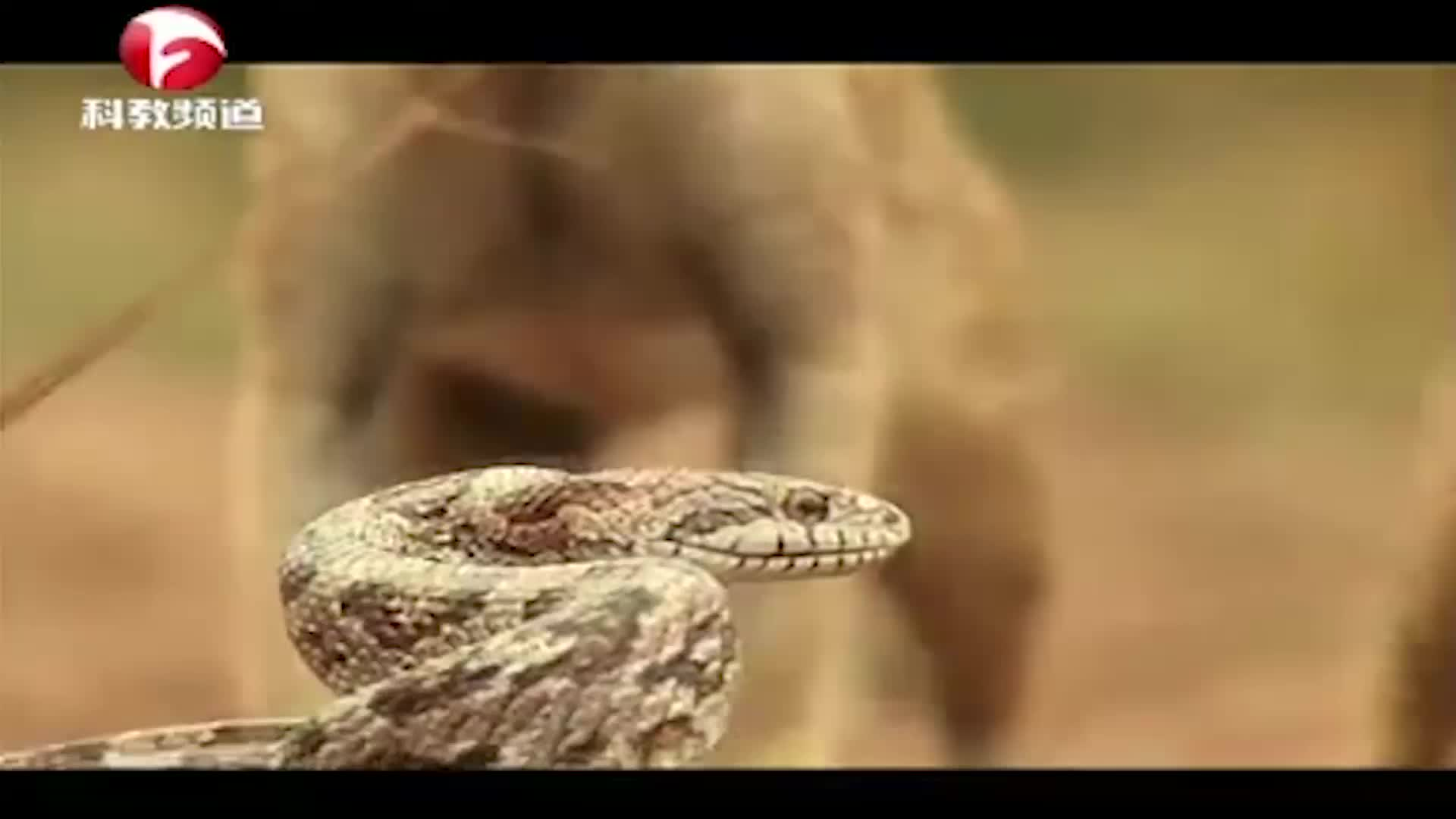 父爱如山!为了让孩子填饱肚子,猫鼬父亲大战毒蛇,不幸被咬死