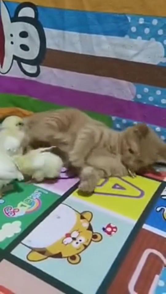 猫妹抓起一只小鸡宝宝偷偷下口,突然传来…