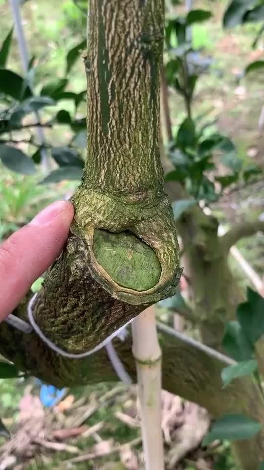 果树嫁接,接穗和砧木伤口的形成层紧密结合促使层细胞的快速愈合