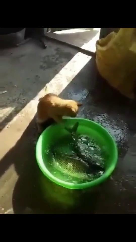 猫抓着盆里的大鱼,主人以为抓不起来,橘猫你太小看我了啊!