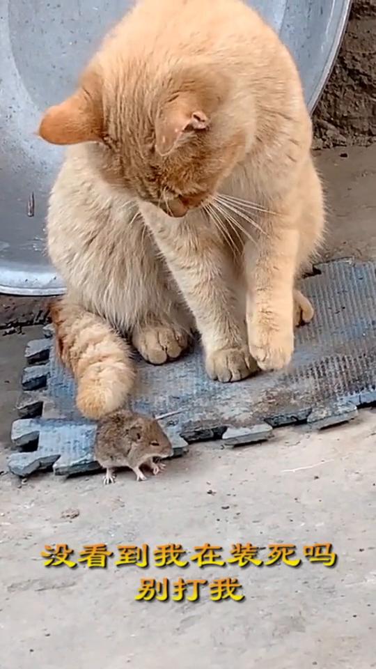 现在的猫这么胆小的?