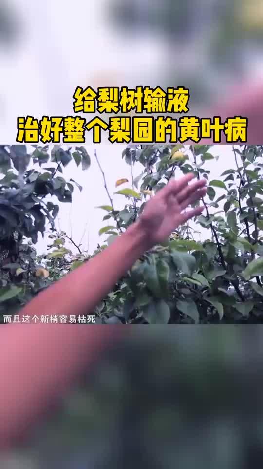 他给梨树输液,治好整个梨园的黄叶病!