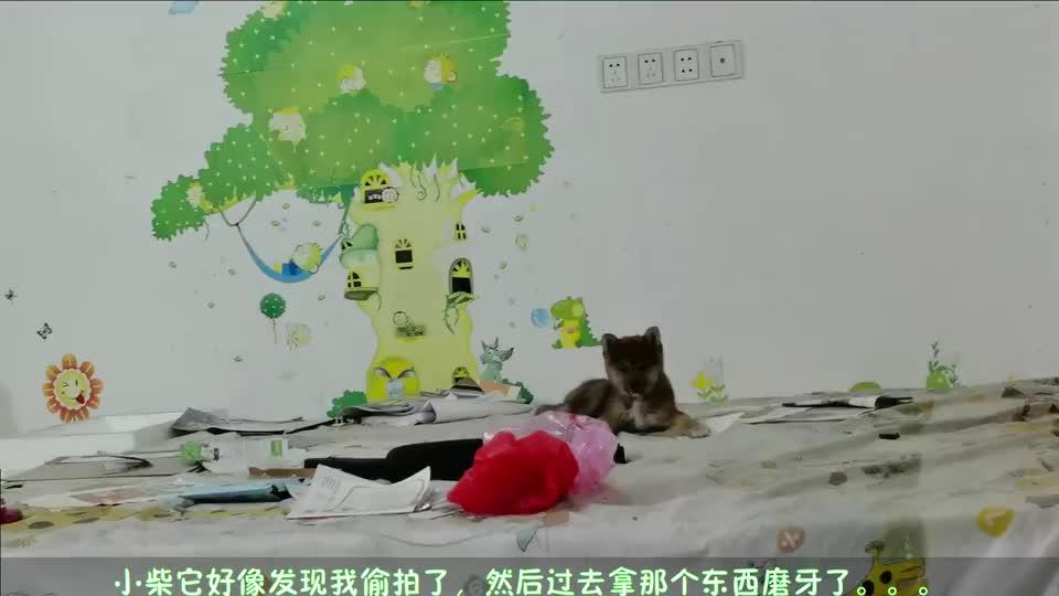 小柴成长Vlog:小柴趁你不在的时候在干嘛呢?他居然在哪里蹦