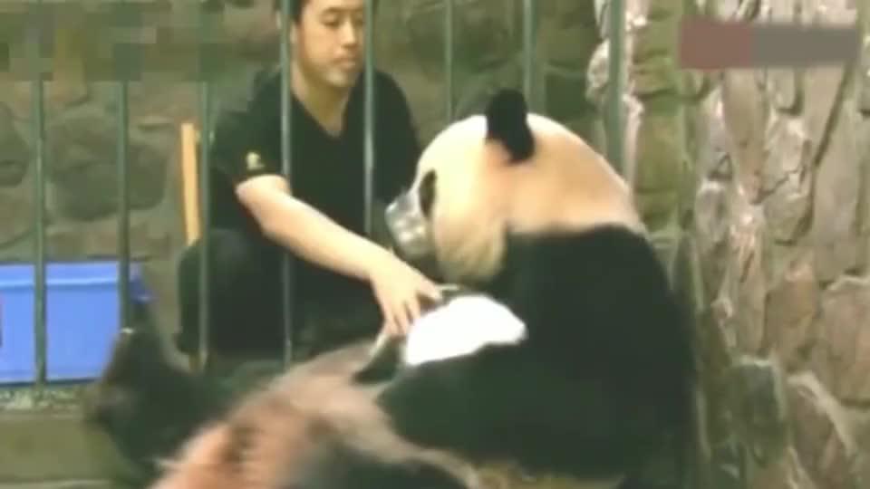 奶爸用一个空碗骗走熊猫妈妈怀里的崽, 气得它把碗都扔了!