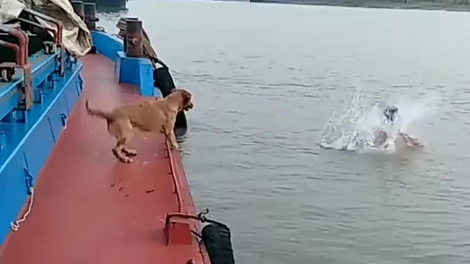 主人下水游泳,狗狗还以为主人溺水纵身跃入水中,这狗狗才是忠诚