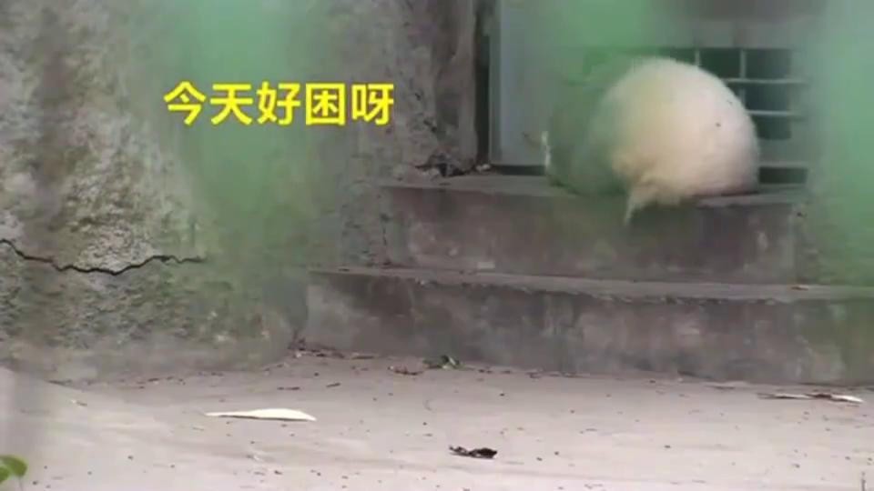 大熊猫:大熊猫界的睡神,从台阶上滚下来,继续睡