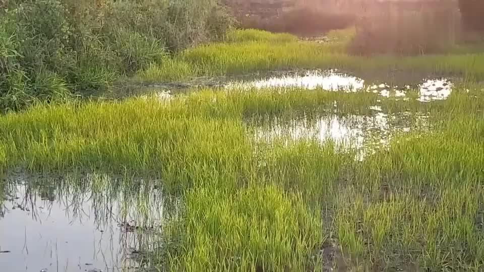 傍晚跑到田里抓鱼摸泥鳅,收获还不少!