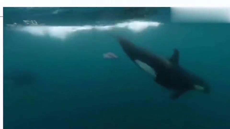 虎鲸:虎鲸把鳐一尾巴扇翻了,鳐:他既然还想接着扇!