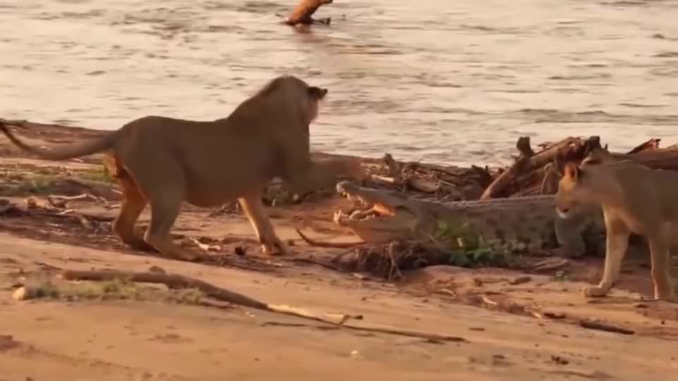 鳄鱼在岸上晒太阳,一头狮子竟然过来戏弄它,镜头记录全过程!
