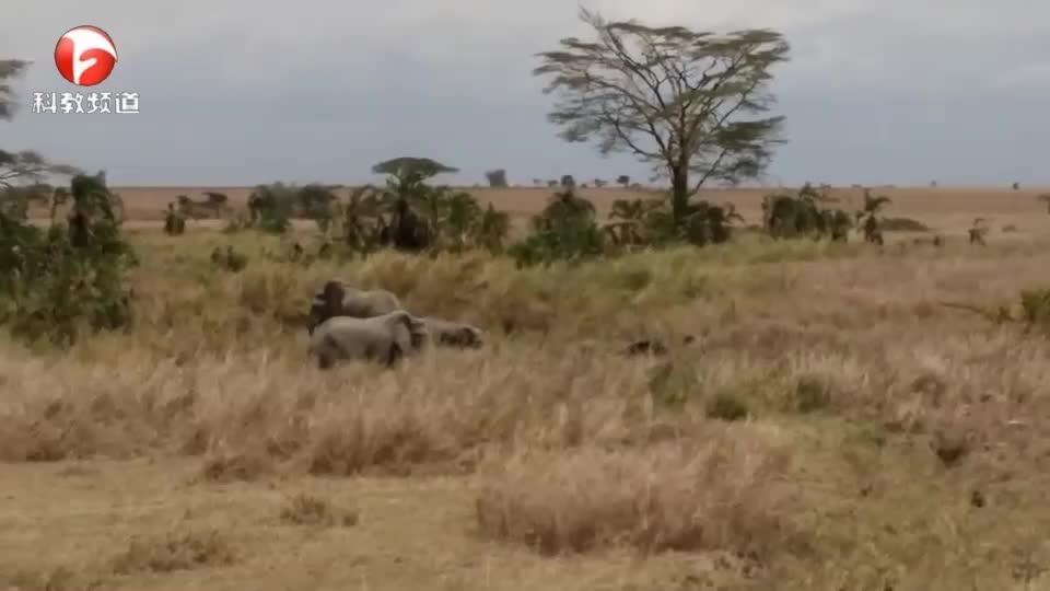 愤怒的大象可不好惹!狮子都要躲着它们