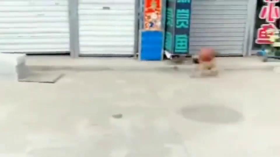 中华田园犬:雕虫小技而已,不就是个篮球吗,我也会