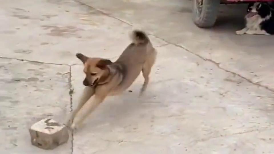 中华田园犬:努力搬砖的第三天,准备过年娶个媳妇