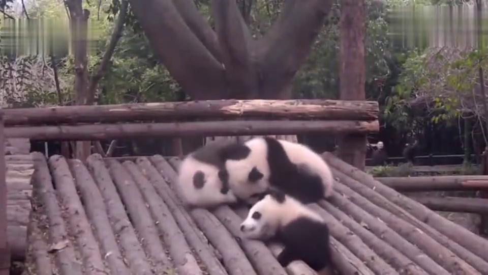事实证明,熊猫都是虚胖,是水做的,一不留意就滑走了!