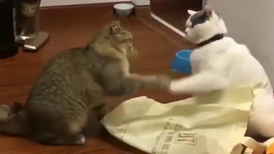 狸花猫本想找小白猫打架,没想到成了太极拳?