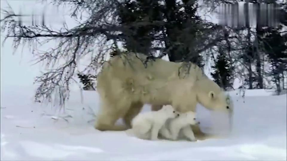 北极熊:两只北极熊宝宝不敢在冰上快速行走,样子憨极了!