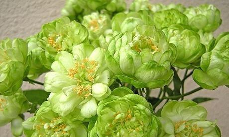 """珍稀天然绿玫瑰""""埃克莱尔""""丑陋可爱的花机"""