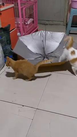 猫姐正随着蹦蹦球摇摆呢,猫妹突然出现