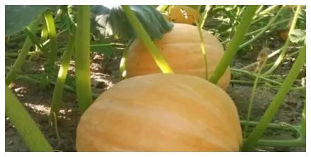 有哪些植物生长调节剂可用于南瓜种植,使用方法教给你