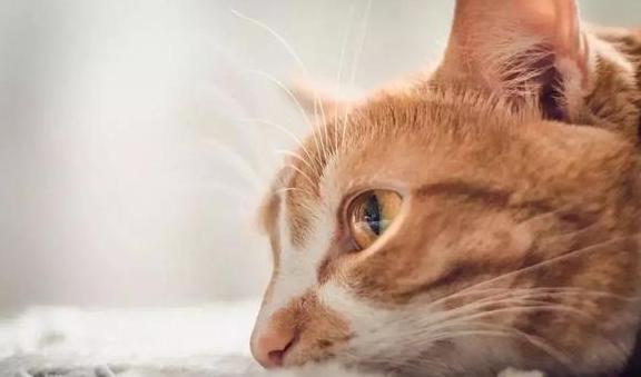 猫咪湿疹背后可能暗藏特应性皮炎,治疗爱猫遗传疾病需从四点出发