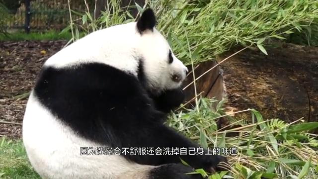 """饲养员帮熊猫洗澡,团子内心100个抗拒,镜头拍下""""挣扎""""过程"""