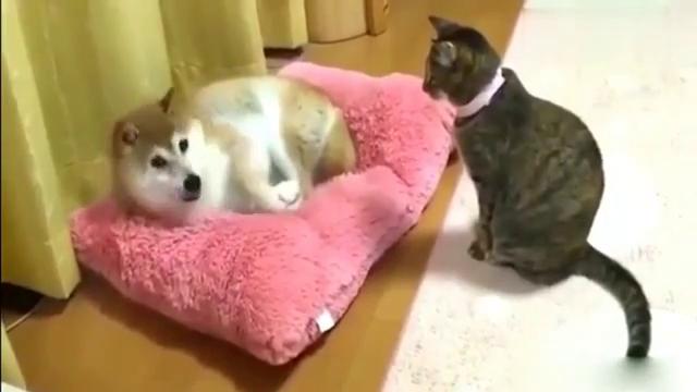 萌宠:阿柴霸占猫窝无奈让位,柴犬真有眼色