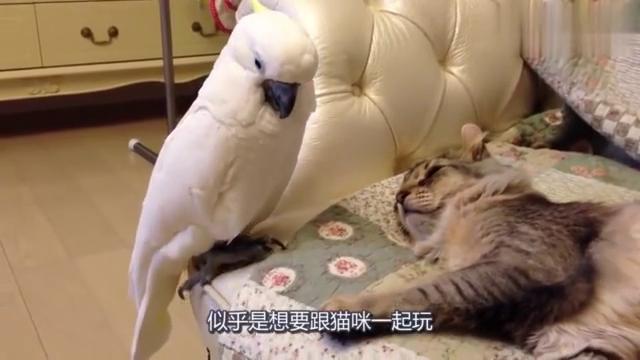 鹦鹉想摸摸睡觉的猫咪,竟然想拿爪子小心试探,一举一动全是戏