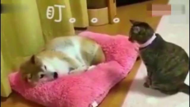 狗狗霸占了猫咪的窝,喵星人只用了一个眼神,狗子就乖乖起来了!