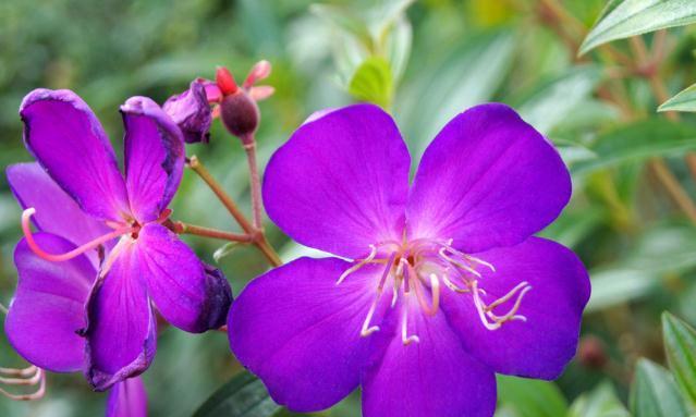 此花盛开在盛夏季节,是野地中的花中皇后,寓意着自然美