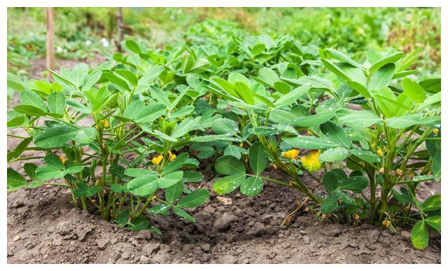 教你花生的科学高产栽培技术,来看看吧,有效提高产量与经济收入