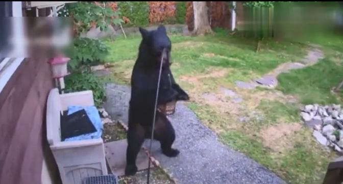 黑熊对阵狗狗,结果惨败!
