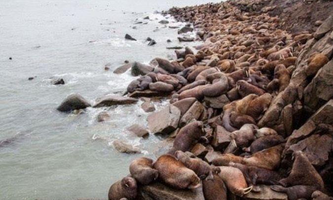 上万只海象集体跳百米悬崖,拍摄者泪流不止,人类能否拯救它们