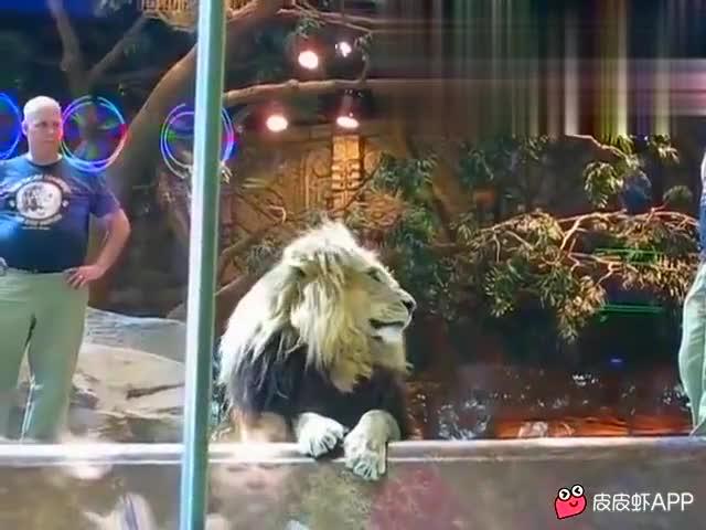 雄狮突然发疯撕咬新来的饲养员,母狮上来劝阻