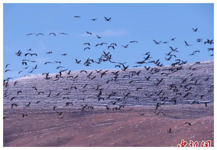 青海玉树黑颈鹤数量达历史最高峰值
