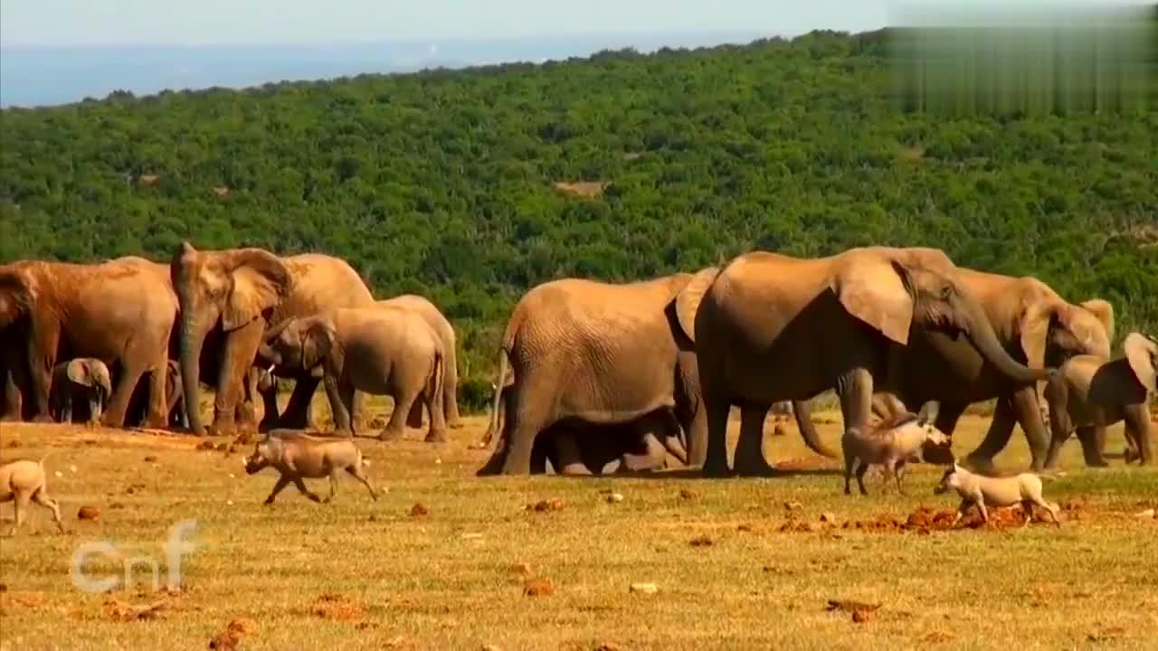小象陷入泥潭,大象妈妈紧急救援