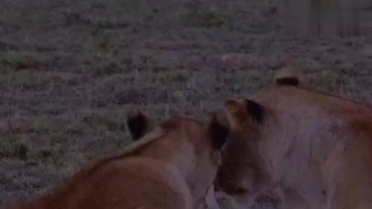 小狮子精力太旺盛,打架停不下来,母狮被吵得睡不着
