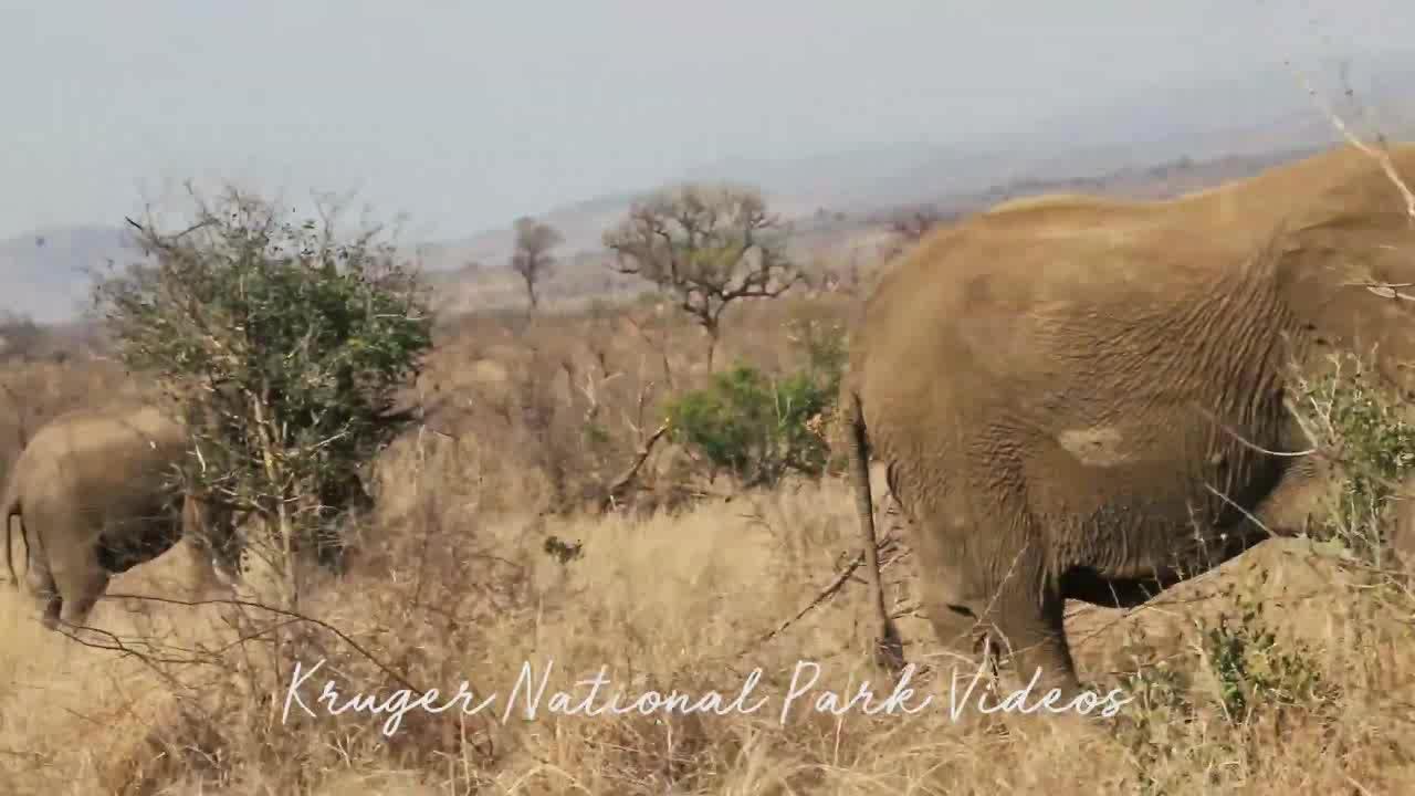 克鲁格国家公园的大象与路过的犀牛对峙,领地意识很强烈
