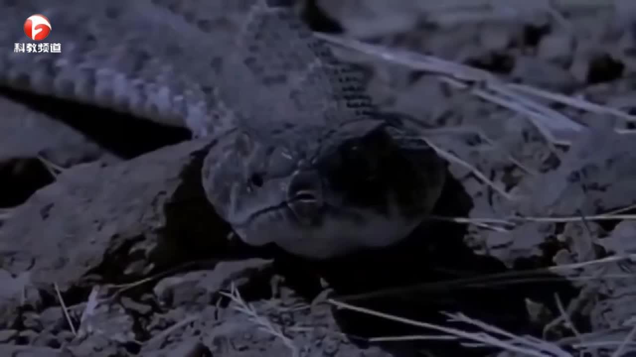 花蛇伏击小鼠,结果被身后的大蛇吃掉