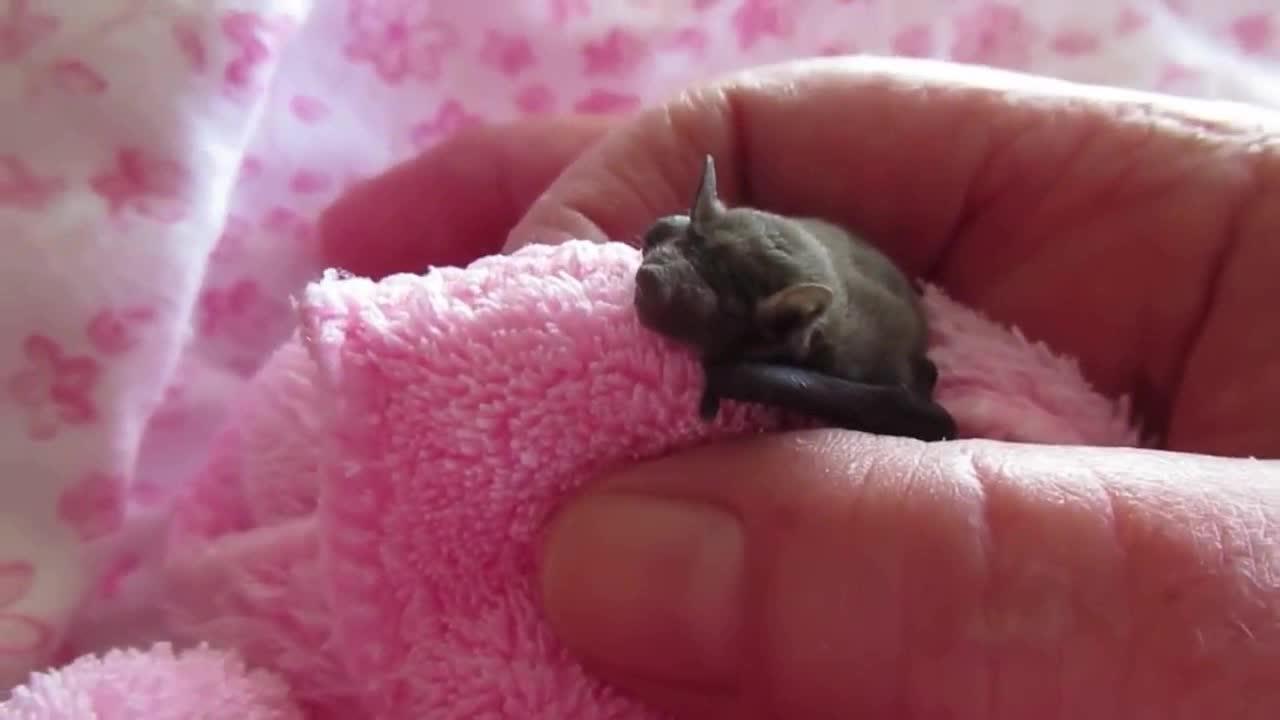 刚出生几天的小蝙蝠,好可爱呀!