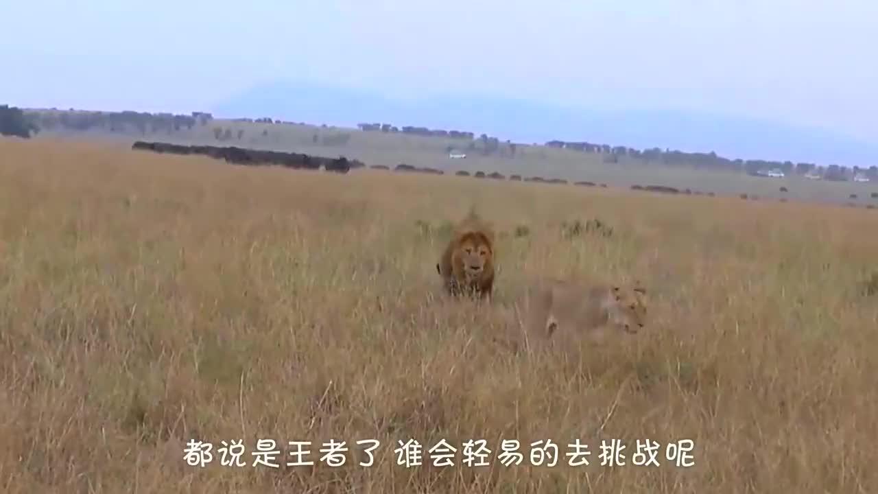 百兽之王的狮子,惨遭水牛追杀,追到狮子家玩虐!
