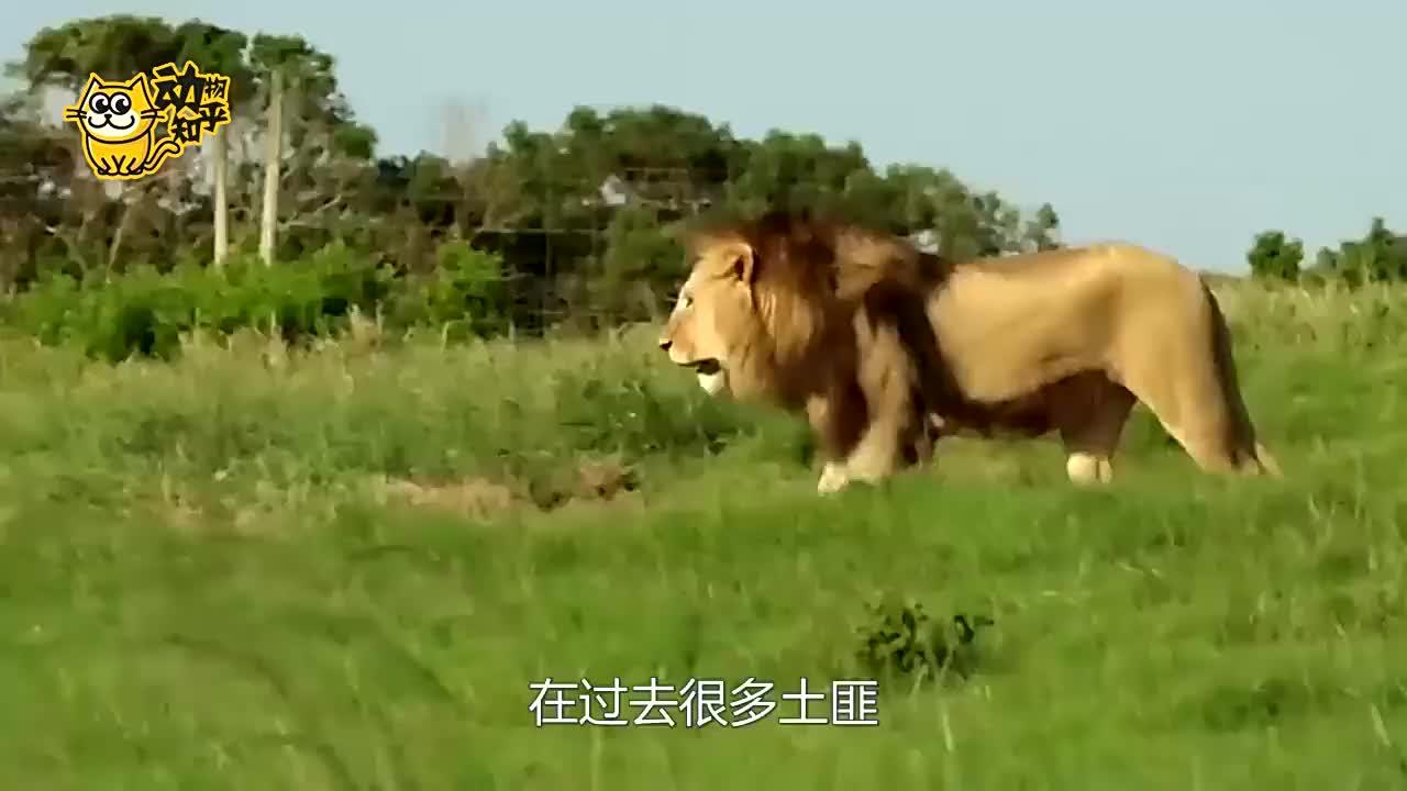 狮群横卧在马路上,过往车辆纷纷被困,是要干嘛?