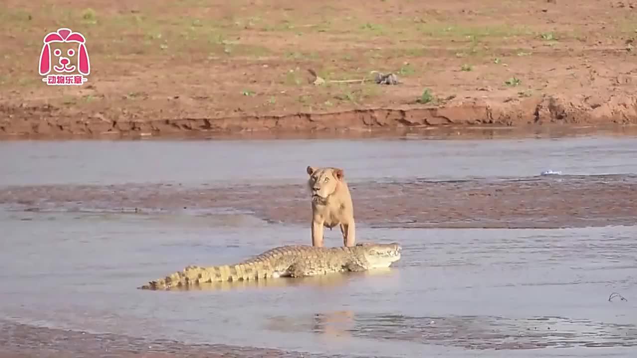 狮子蹭鳄鱼的食物吃,结果差点被鳄鱼拖下水,镜头拍下全过程
