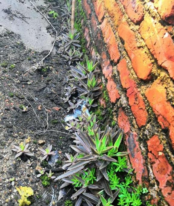 扫墓奇遇野生多肉植物,开花美如灯笼