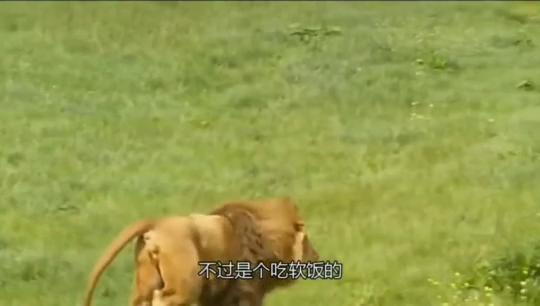 狮子和老虎谁更残忍!