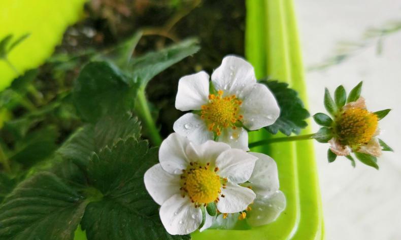 种草莓为什么不开花?4要素入手促花促果