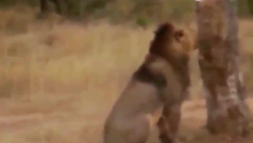 雄狮猖狂独食不让,两只母狮忍无可忍冲上去往死里打