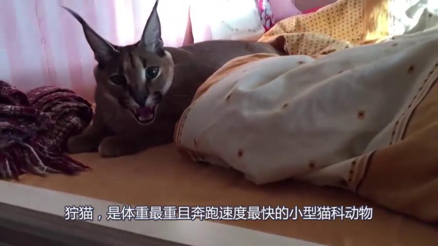 狞猫张开嘴巴警告拍摄者,不准叫醒主人,真是个护主的家伙