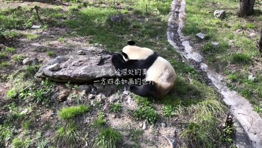 秦岭腹地的可爱野生动物,憨厚的大熊猫,还有灵巧的金丝猴